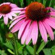 Cao khô cúc tím – Echinacea Extract